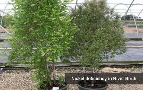Nickel Deficiency