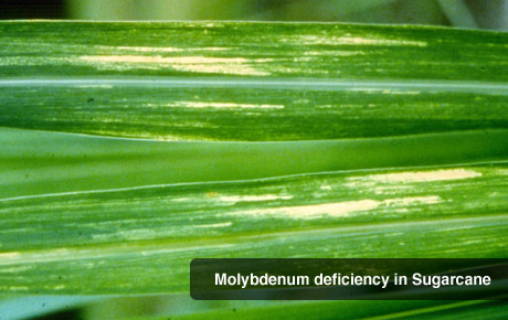 Molybdenum Deficiency