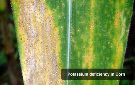 Potassium Deficiency