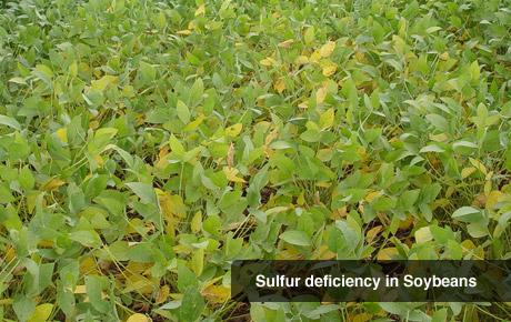 Sulfur Deficiency