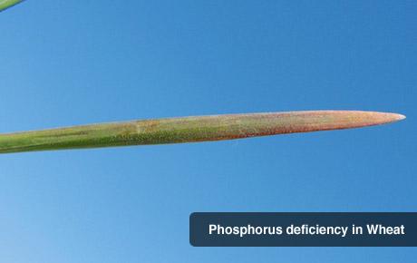 Phosphorous Deficiency