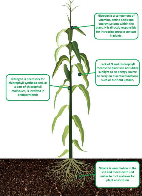 Nitrogen in Maize