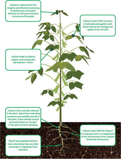 nutrient facts Calcium