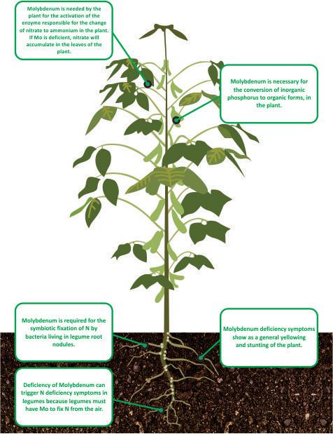 nutrient facts Molybdenum