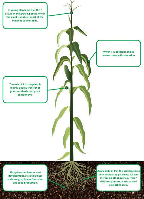 nutrient facts Phosphorus