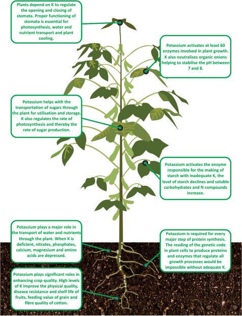 nutrient facts Potassium