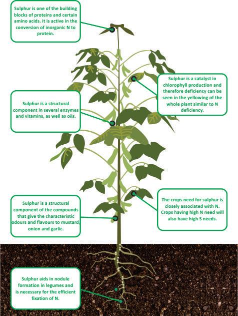 nutrient facts Sulphur