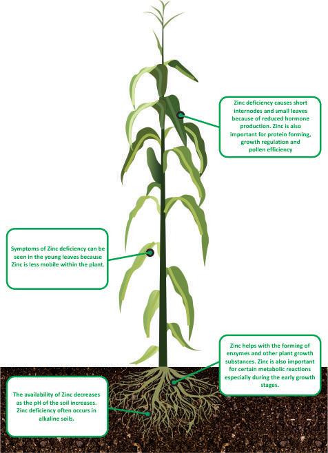nutrient facts Zinc