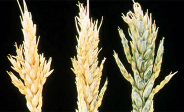 Boron Deficiency in Wheat