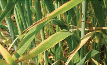 Potassium Deficiency in Wheat