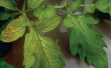 Molybdenum Deficiency in Tomatoes