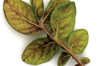 Phosphorus Deficiency in Potatoes