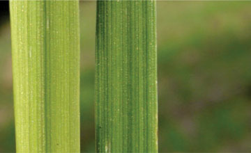 Sulphur Deficiency in Wheat