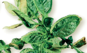 Boron Deficiency in Potatoes