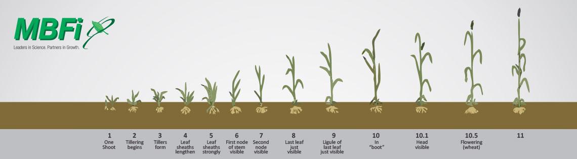 wheat crop program